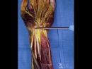 Distal forearm anatomy