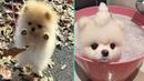 😍 Mini Pomeranian - Funny and Cute Pomeranian Videos 2 - CuteVN