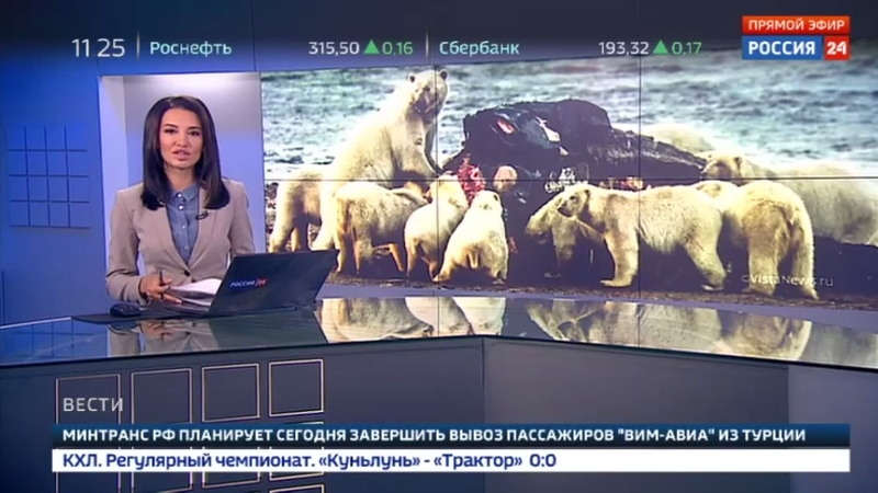 Новости на Россия 24 • На Чукотке 200 белых медведей пришли объесть тушу выброшенного на берег кита