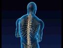 Тело человека. Позвоночник Columna vertebralis