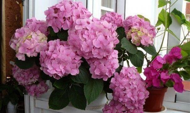Гортензия комнатная Гортензия растение, по мнению многих растение сугубо садовое. Но любой настоящий цветовод-любитель, увидев один раз цветущую гортензию на подоконнике (да и в любом другом