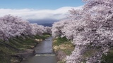 Sakura Stream in Tohoku, Japan