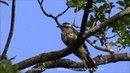Variegated flycatcher Пёстрый аргентинский тиранн Empidonomus varius