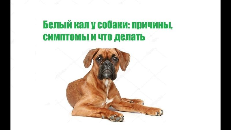 Белый кал у собаки: причины, симптомы и что делать
