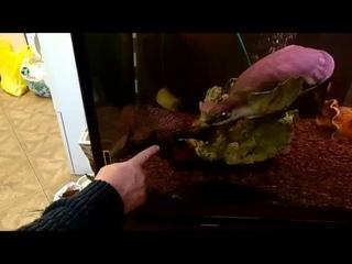 черепаха водоплавающая и сом парчовый огромный в аквариуме 845л Зеленоградские Аквариумные Комплексы