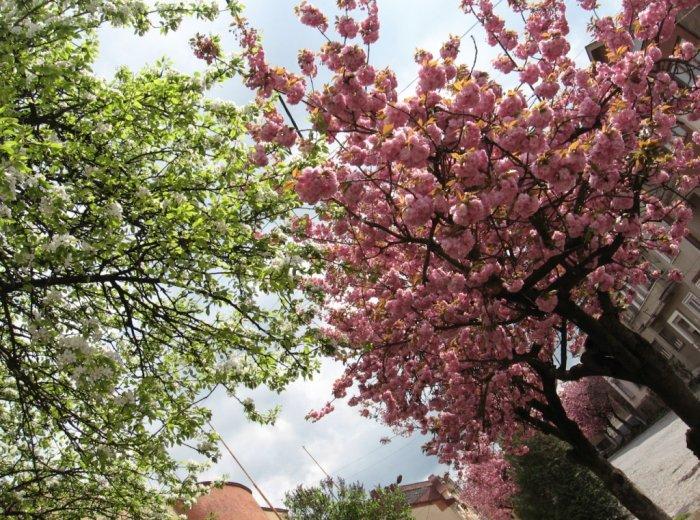 Щоб побачити масове цвітіння сакур і магнолій не обов'язково їхати до Японії.