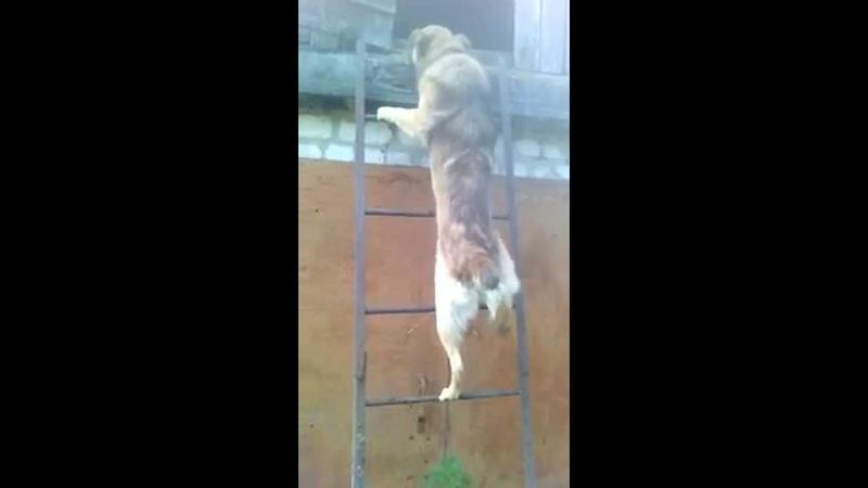 целеустремленный пес ..