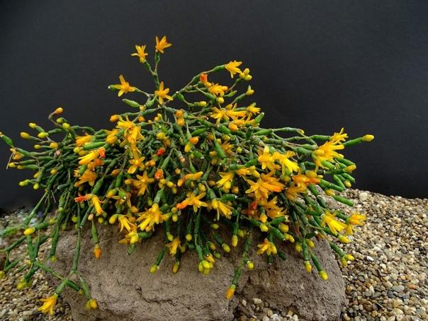 ХАТИОРА Хатиора - кактус танцующих костей Любители экзотических комнатных растений по достоинству могут оценить Хатиору необычное растение из множества разветвленных стеблевых побегов, но без