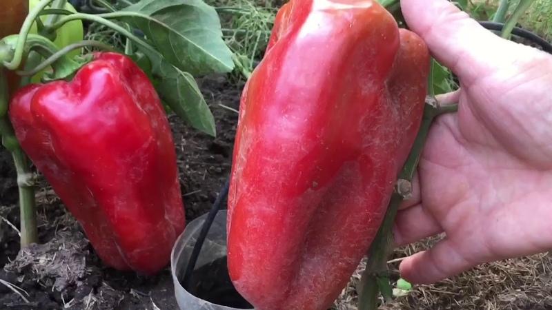 Крупноплодные болгарские перцы в конце июля.