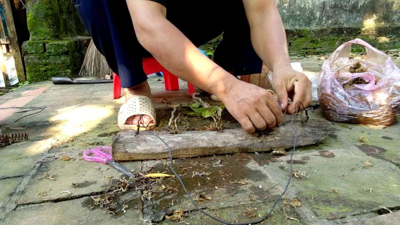 Ghép và treo lan hoàng thảo kèn ỏ vị trí thích hợp