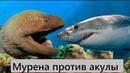 ВЕРСУС МУРЕНА ПРОТИВ АКУЛЫ Мурена против осьминога