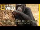 Nat Geo Wild Американские шимпанзе 1080р