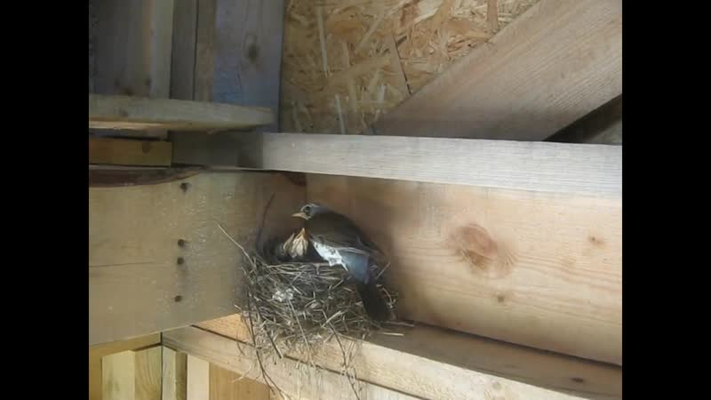 Птенцы дрозда в каркасном доме