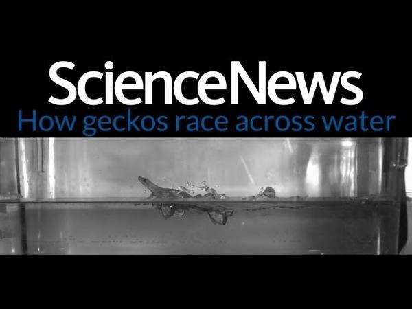 Гекконы могут передвигаться по воде почти так же быстро, как по земле