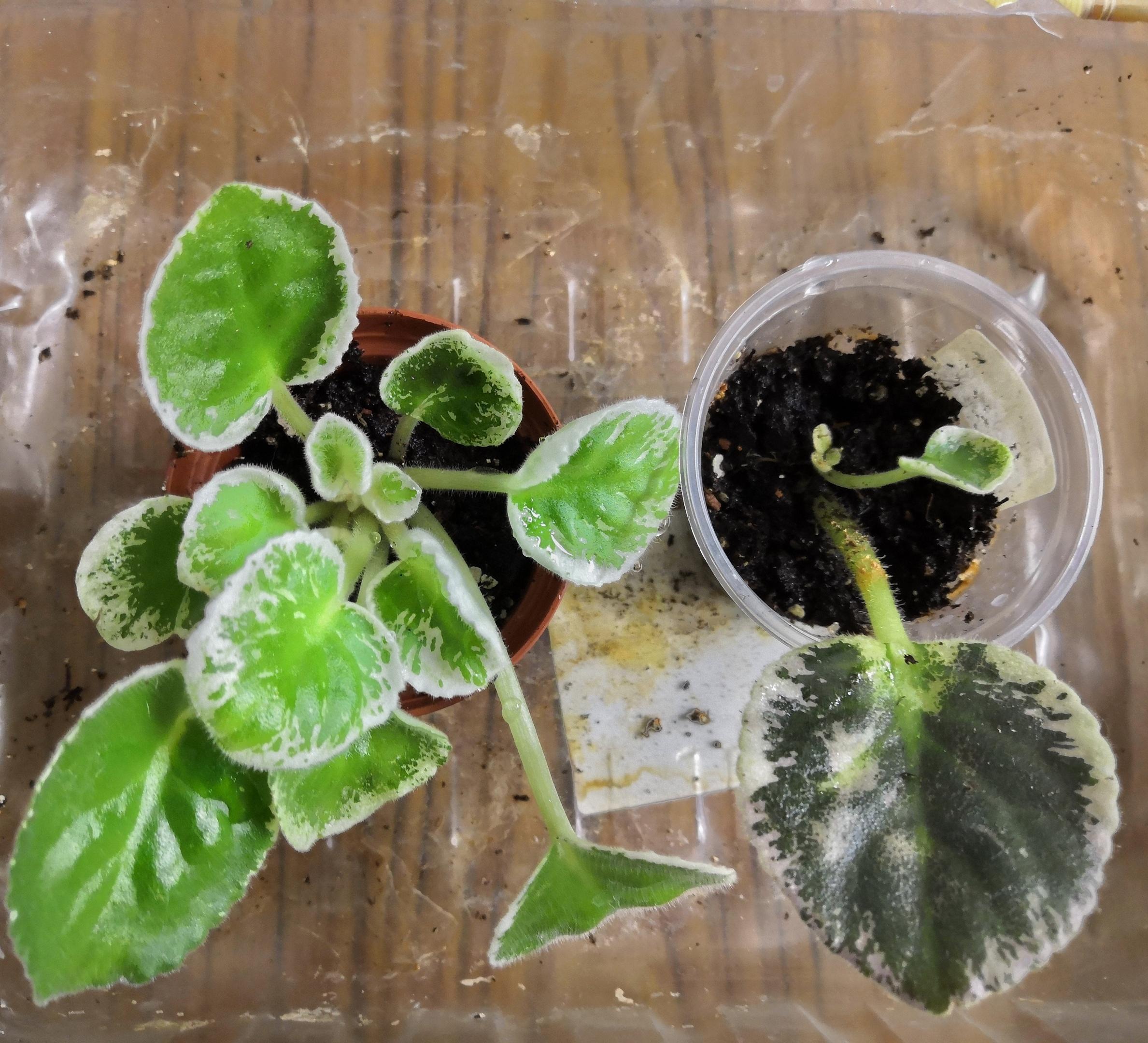 Выращивание фиалки из листочка одного сорта в разных условиях - Страница 3 4AMzL2jkVgM