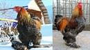 Брама куропатчатая и голубо-куропатчатая, 2018 The Brahma breed chickens