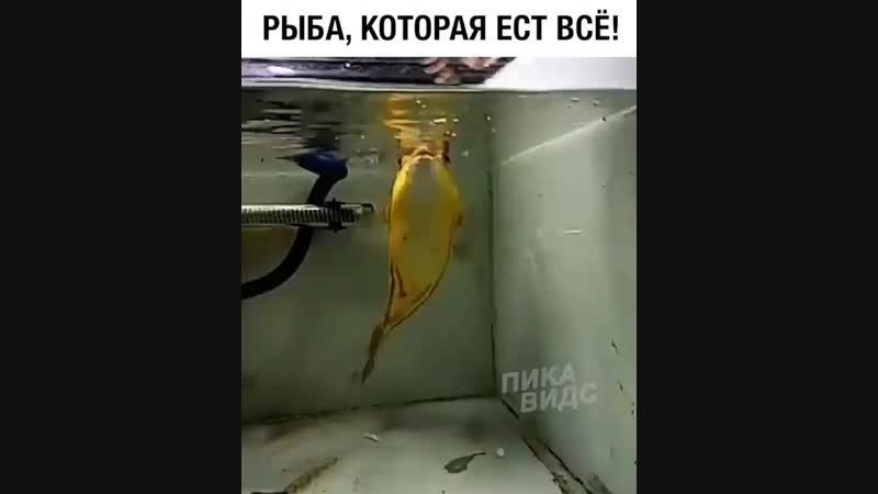 Рыба которая ест все
