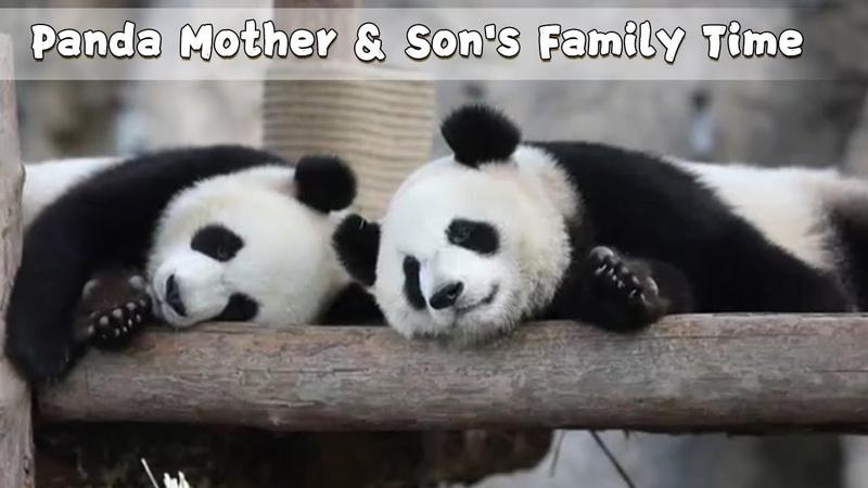 Panda Mother Si Xue Son Xue Bao's Family Time iPanda