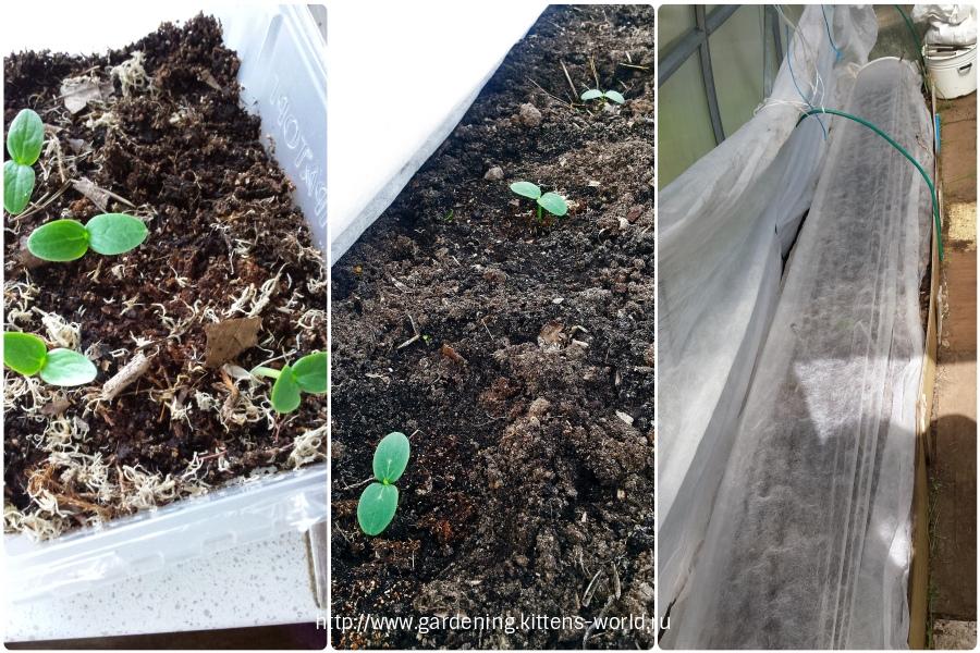 Два секрета стремительного прорастания семян огурцов