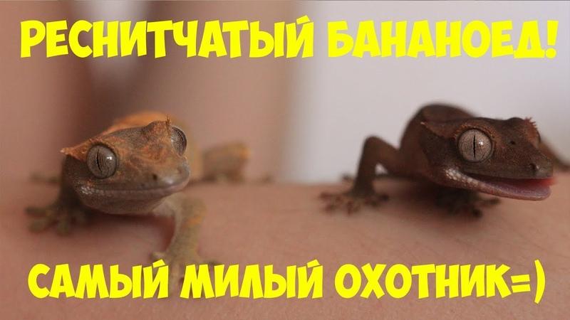 Паук мне друг 11 Реснитчатый геккон бананоед. Знакомство. Содержание.