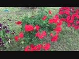 АМПЕЛЬНАЯ ГЕРАНЬ-Школа цветоводства и садоводства