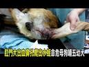 2018-03-11 母犬肛門大出血鼻孔爬水蛭命危哺五幼犬 動物救援小組搶救送醫