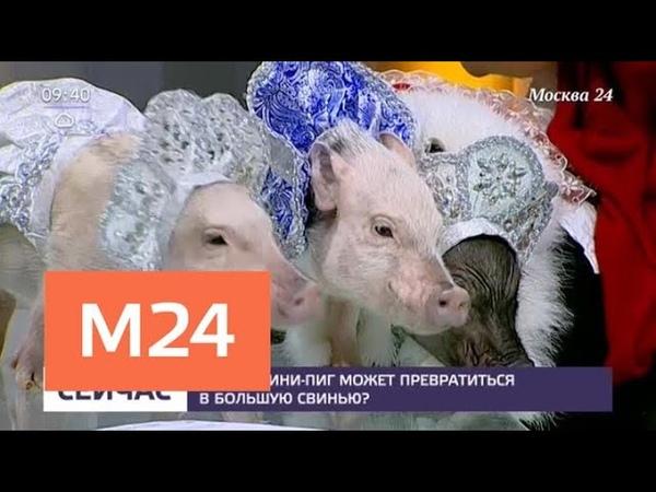 В кого может превратиться мини-пиг - Москва 24