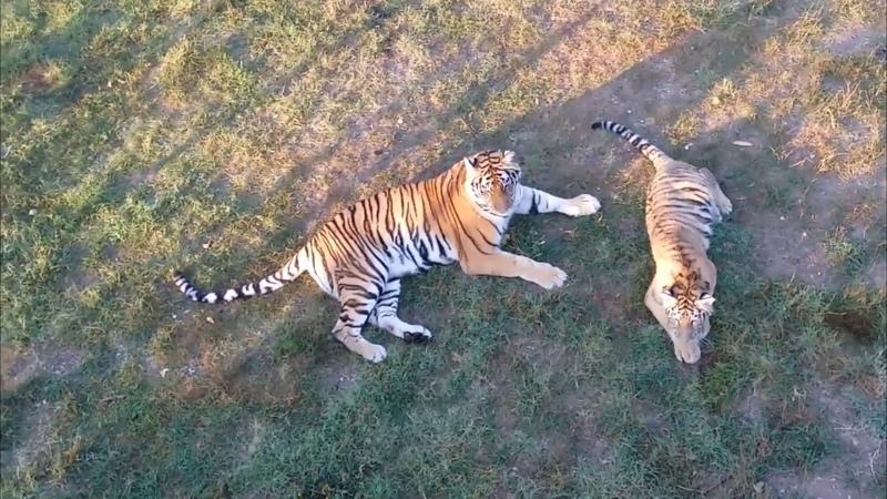 Репортаж из вольера тигров Скарлетт и Хасана. Август 2018