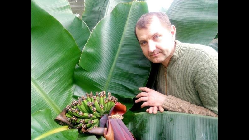 Плодоношение банана Зимовка инжира