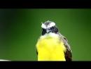 Rusty margined flycatcher Краснокрылая питанга крошка Myiozetetes cayanensis