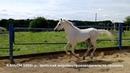 Продажа лошадей арабской породы конефермы Эквилайн тел WhatsApp 79883400208 Каньон 1992г р
