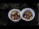 Картофель сорт Коломбо урожай 2018 год