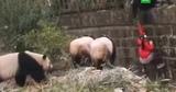 В Китае напомнили об опасности панд после падения ребенка в вольер
