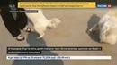 Новости на Россия 24 • Щенки спасенной из моря собаки играют и выглядят здоровыми