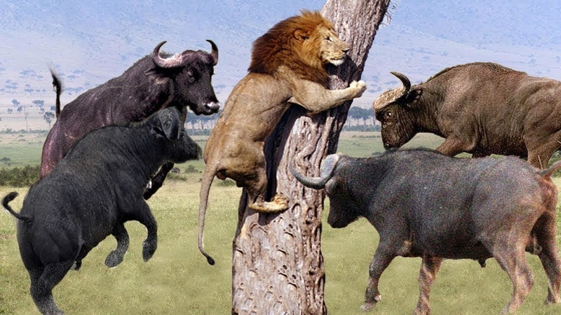 True that strong as Buffalo Moments Lion are defeated by Buffalo Animal Planet 2019