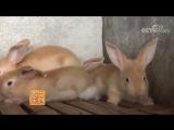 Фуцзяньские желтые кролики ''Фуцзянь Хуан Ту'', или как молодые фермеры Лу Гаоминга и Лай Хунмей, нашли свою любовь!