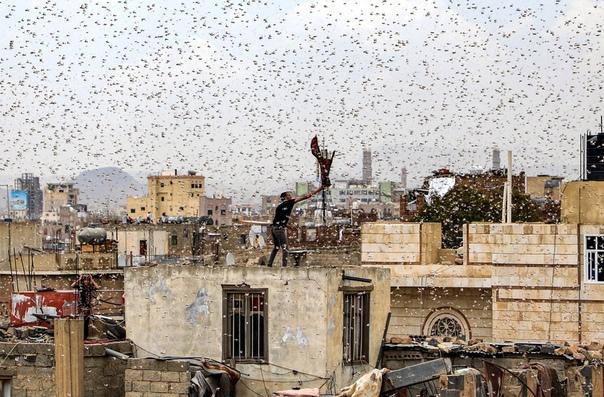 Саранча на Йеменом