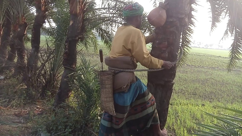 AMAZING JUICE COLLECTION : READY TO CUTTING SUGAR PALM FOR COLLECT.