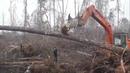 Un orang outan défend son arbre contre un bulldozer