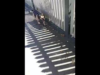 прогулка по солнечному дню собаки в Мельбурне Австралия