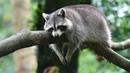 Полиция задержала пьяного енота экстримала История прикольного кота Тимки