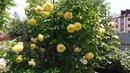 Роза Austin The Pilgrim (AUSwalker) в моём саду.
