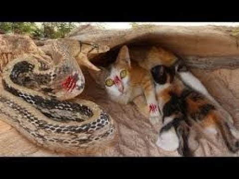 Wow! Two Boy Saves Family Cats From Snake Attack - Attack Snake Cat Nest