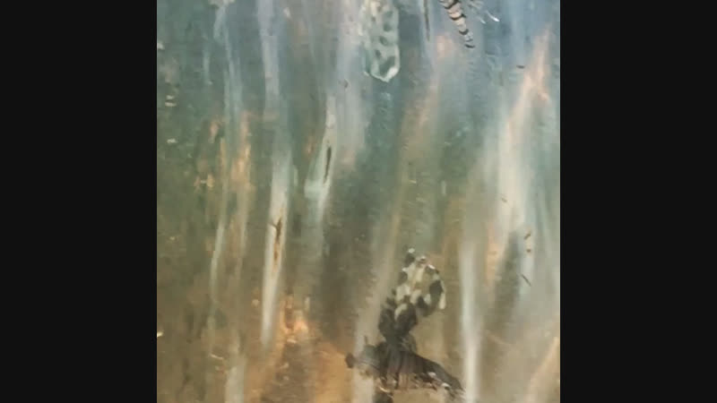 Ядовитая крылатка Египет Шарм эль шейх
