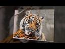 Тигриная нежность вышивка Алены Ивановской по авторской схеме Яны Редхер Клачан