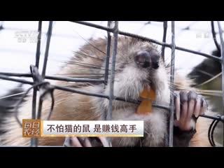 Мышка, которая не боится Кошек ''БуПа Мао дэ Шу''! Ондатра, или мускусная Крыса (лат. Ondatra zibethica) ''Шуй ХаоЦзы'' (водяна