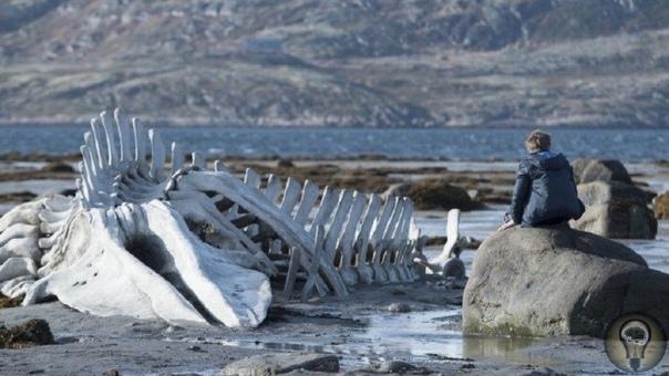 ЧТО ПРОИСХОДИТ С КИТАМИ ПОСЛЕ СМЕРТИ Все живое рождается и умирает. И даже существа таких невероятных размеров, как киты не становятся исключением. В биологии существует такое понятие как