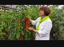 Суперурожайный суперсладкий черри-томат Терек F1