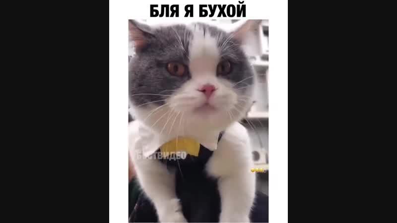 Бухой кот