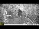 Бобры восстанавливают хатку после нападения медведя